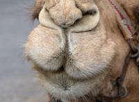 Camel Muzzle Closeup