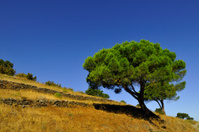 catalonia pine