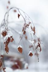 Snowy winter leaves