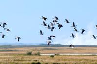 Sandhill Cranes Flying Away
