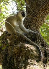 Vervet monkey in tree, Kenya