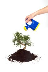 Watering Bonsai Tree