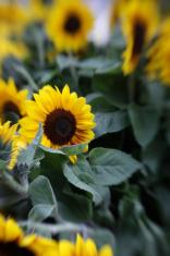 Shallow dof Sunflowers