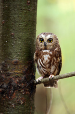 Little Saw-Whet Owl