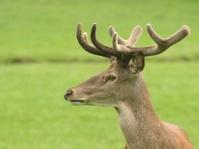Red deer in velvet