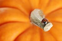 lady bug on a pumpkin stem