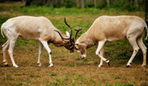 Two male Impalas fighting
