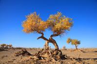 golden black poplar trees