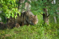 Gray wolf peering from behind trees.
