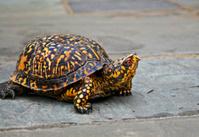 box turtle walking