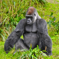 Silverback Gorilla Posing