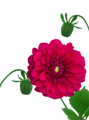 Flower  peony  red  petals