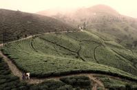 Darjeeling mountain tea plantation - cross-processed