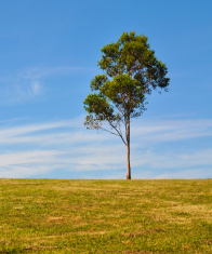 Lone Gum Tree on Hill