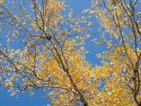 autumn, aspen