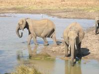 Elephants in a watering hole