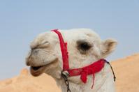 Camel in Palmira