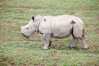 White rhino baby, Lake Nakuru, Kenya,