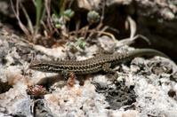 alone lizard