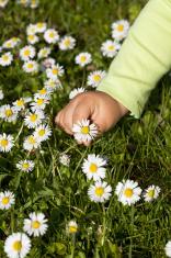 Kid hand picking wildflowers