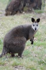Elder Swamp Wallaby
