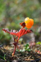 Cloudberry, Rubus chamaemorus