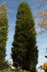 Evergreen among fall trees