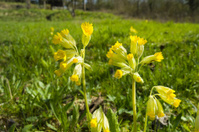 cowslip [Primula veris]