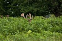 Hiden Deer