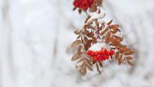 Mountain Ash Berries ... Frozen