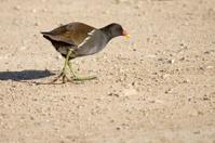 Common Moorhen Walking