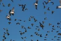 Flock of tree swallows