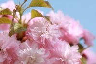 Spring prunus in bloom