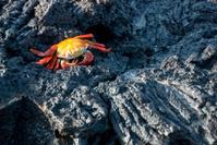 Crab on Lava Rock