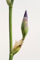 Iris (Iridaceae)