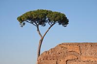 Pine Tree in Rome.