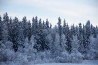 Alaskan Snowy Treeline