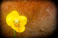 yellow  flower on grunge wall