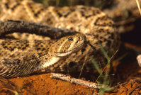 Diamondback Rattlesnake With Tongue Out