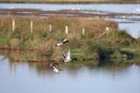 Mallard ducks flying over pond