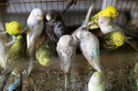 Budgies in the Cage