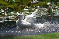baby goose bathing