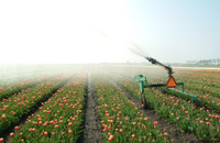 Tulips sprinkled in summer