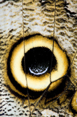 Eye spot on the wing of an Owl butterfly