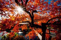 Fall red tree
