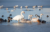 Mute Swan family, ducks, coots and gulls in ice hole
