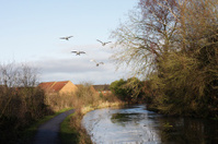 Four young swans flying up the Wilts & Berks canal