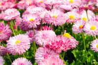 Daisy (Bellis) flowers