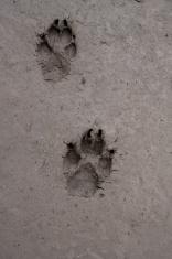 Dog footprint in mud