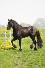 Black frisian horse